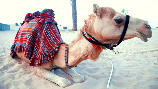 Camel resting in the desert video