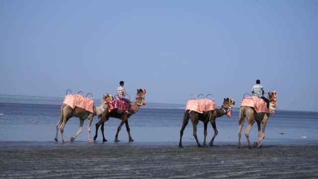 Camel train travels along the beach in India video