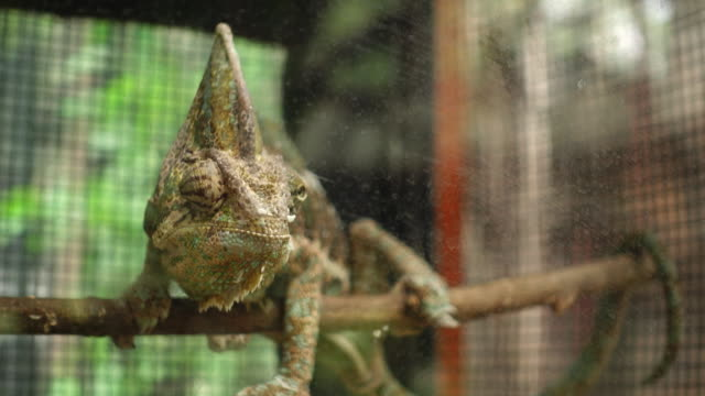 Cameleon Cameleon reptile stock videos & royalty-free footage