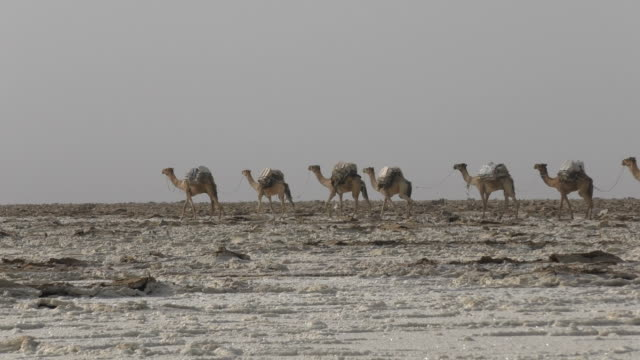 Camels caravan carrying salt in Africa's Danakil Desert, Ethiopia video