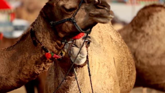 vídeos y material grabado en eventos de stock de camels en cámara lenta en la feria pushkar, también llamada la feria pushkar camel o localmente como kartik mela es una feria anual de ganado de varios días y cultural celebrada en la ciudad de pushkar rajasthan, india. - sudeste