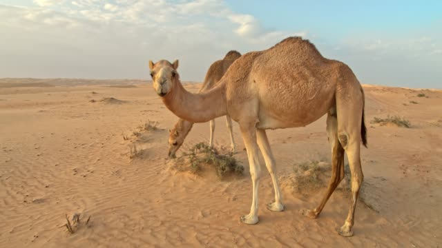 ws camels in the desert - oman video stock e b–roll