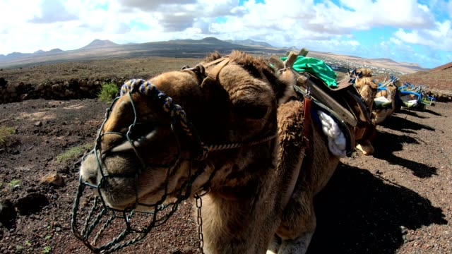 フェルテベントゥラ島、ヒトコブラクダ、4 k の火山 landsscape のラクダ - 動物に乗る点の映像素材/bロール