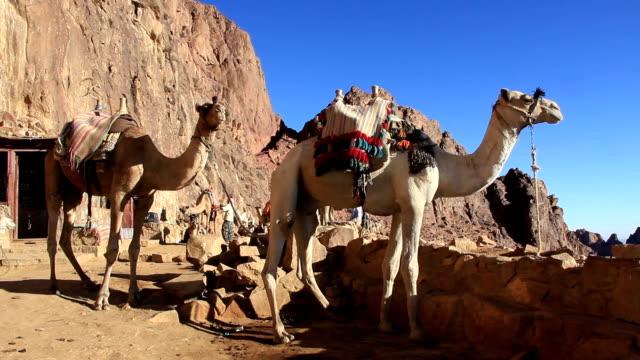 Camels. Mount Sinai. Egypt video