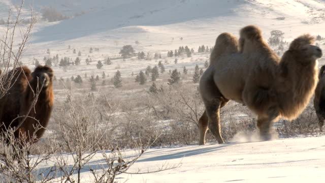 Camels video