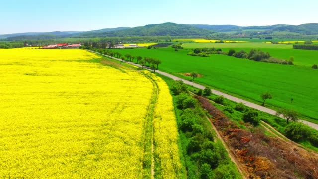 camera flight over blooming rapeseed field. renewable energy source. farmers use drones to inspect of cultivated fields. production of biofuel in european union. - биомасса возобновляемая энергия стоковые видео и кадры b-roll