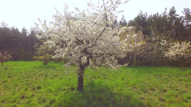 vídeos de stock e filmes b-roll de camera flight over cherry blossom trees. orchard in spring landscape. - maio