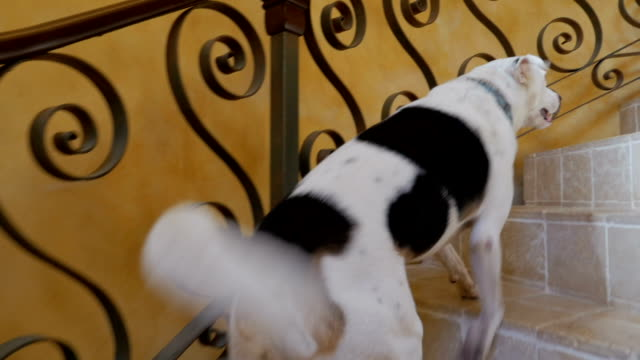 Camera follows a white and black dog walking up spiral stairs after his owner