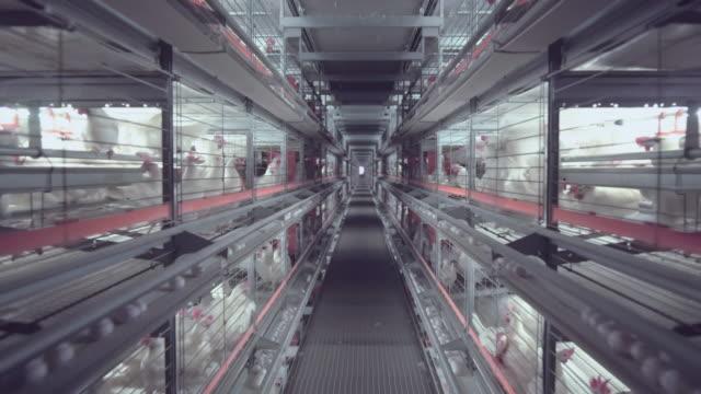 vídeos de stock, filmes e b-roll de câmera mover interior da fazenda de frango - ave doméstica