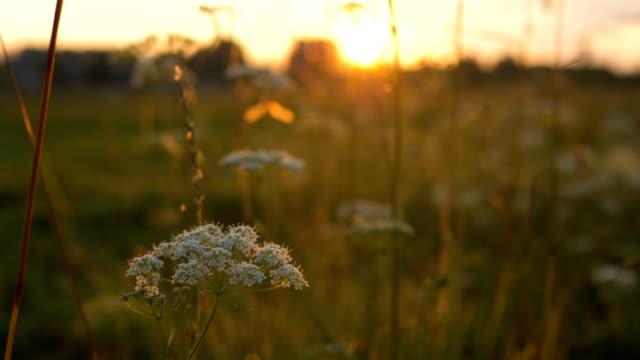gün batımında uzun ot arasında kamera hareketi, böcekler çim uçmak - sinek stok videoları ve detay görüntü çekimi