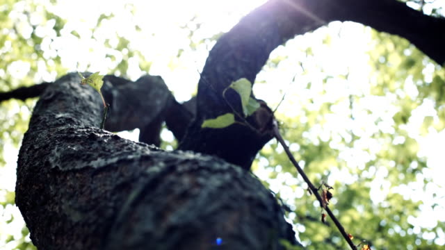 Camera moves around the tree. Camera moves around the tree. Sun's rays breaking through the leaves of the tree in the camera and creating flare in the lens. The view from the bottom up, close-up daylight savings stock videos & royalty-free footage