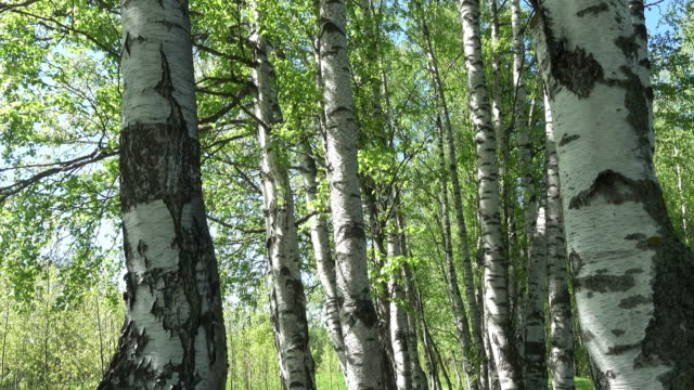 camera moves on a birchwood through white trunks of birches video