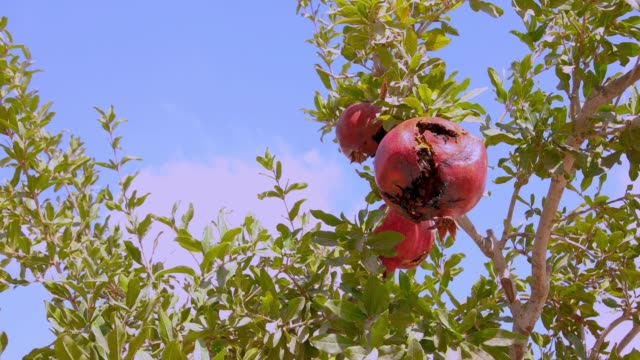 Camera moves out under the tree with overripe pomegranates