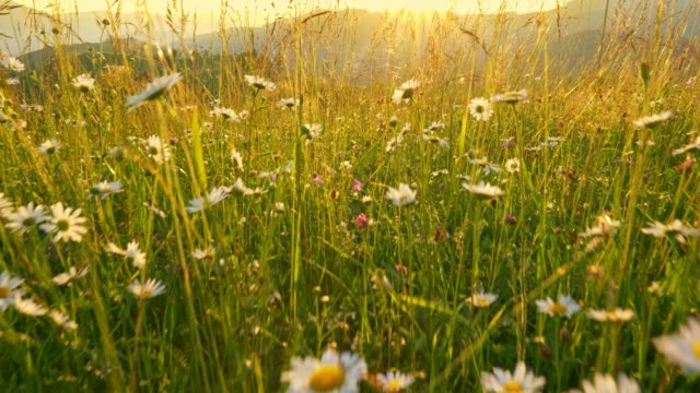 camera moves through flowers and grasses along a beautiful summer meadow in the mountains. the sun sets behind the mountain and illuminates the green hills and meadows. high qaulity gimbal shot - transcarpazia video stock e b–roll