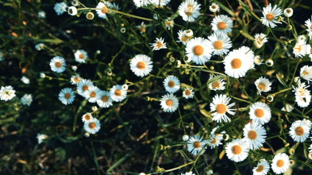 Camera moving above white chamomile field and wind. Top view flowerbed of tiny daisy flower
