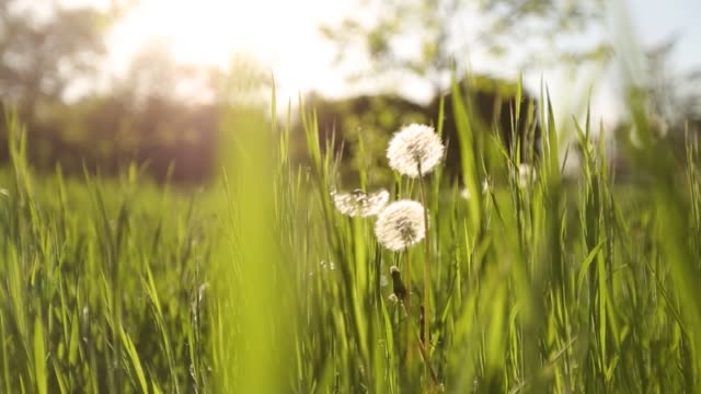 Camera moving forward through white dandelion flowers and fresh spring green grass on pretty meadow. Dandelion plant with medicinal effect. Summer concept. Low angle dolly steady shot