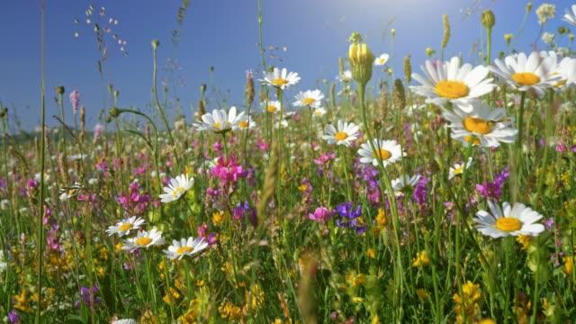 vídeos de stock e filmes b-roll de camera moving through alpine flowering meadow. beautiful summer flowers on the wind. spring summer nature concept. uhd, 4k - prado