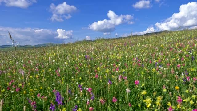 vídeos de stock e filmes b-roll de camera moving through alpine meadow with colorful flowers. fresh green meadows and blooming flowers. steadycam shot. uhd, 4k - prado