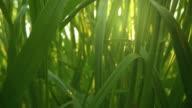 istock Camera moving through fresh green grass in sunrise lights. Inside grass slider shot, 4K 1223830957