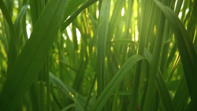 Camera moving through fresh green grass in sunrise lights. Inside grass slider shot, 4K