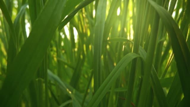 kameran rör sig genom färskt grönt gräs i soluppgången ljus. inuti gräs skjutreglage skott, 4k - naturen bildbanksvideor och videomaterial från bakom kulisserna