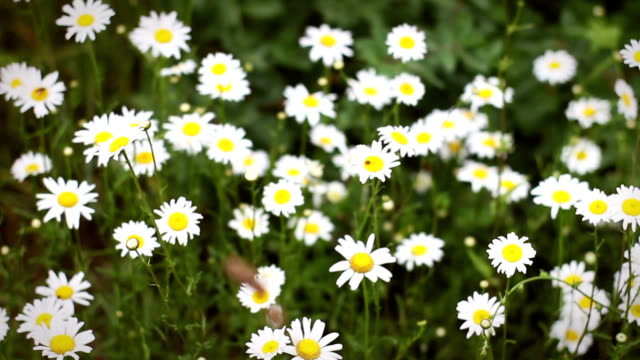 camera pans over beautiful chamomile patch in the wilderness during daytime - joseph kelly stock videos and b-roll footage