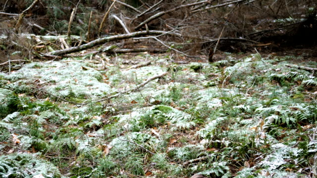 Camera pans over snow covered forest fern patch in Pennsylvania forest.  Shot near Cooks Forest, PA video