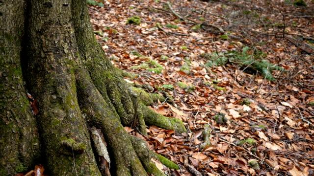 秋の森の根こそぎの大きな木の幹の基部にカメラのパン。 ショット付近のクック フォレスト (ペンシルベニア州) - 中林大樹点の映像素材/bロール
