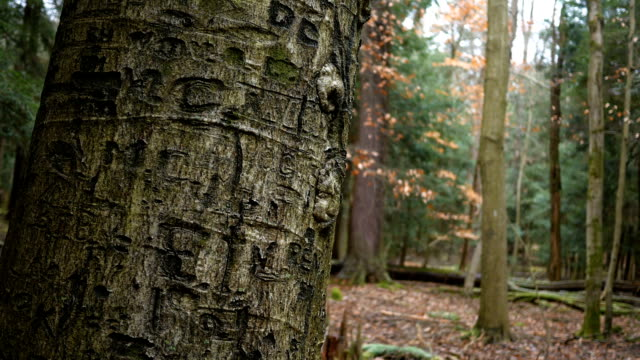 camera pans up the bark of a tree with name carvings engraved into trunk - incisione oggetto creato dall'uomo video stock e b–roll