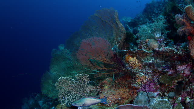 Camera rides through colorful coral reef with gorgonians