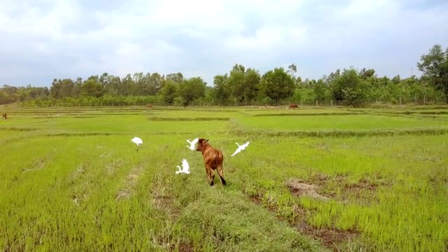 Camera Shows Backside View Buffalo Scaring White Birds