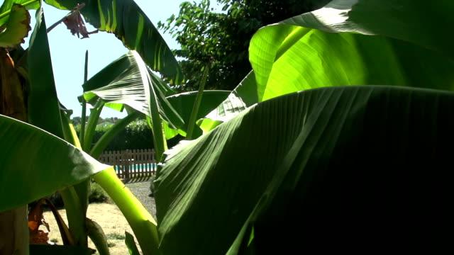 Camera Track Through Tropical Banana Leaves video