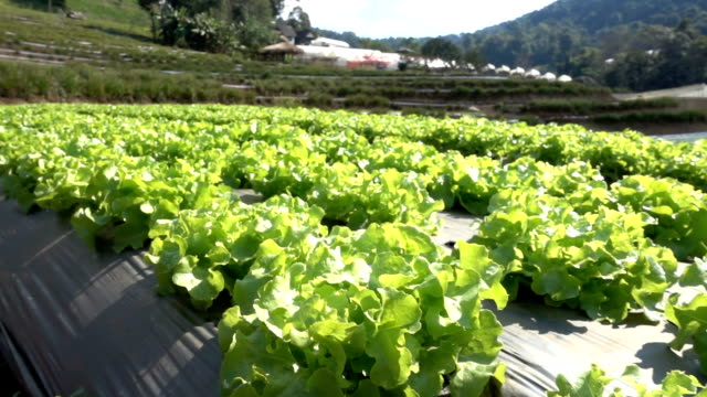 Camera tracking slowmotion in vegetable farm Camera tracking slowmotion in vegetable farm botany stock videos & royalty-free footage
