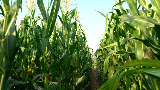 Camera view of farmer POV walking through corn field Camera view of farmer POV walking through corn field agricultural occupation stock videos & royalty-free footage