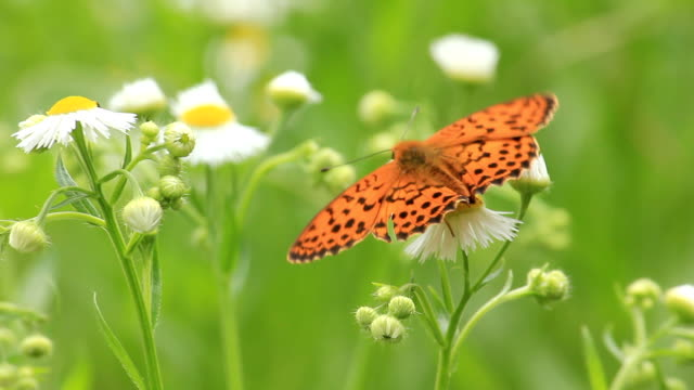 Camomile and butterfly video
