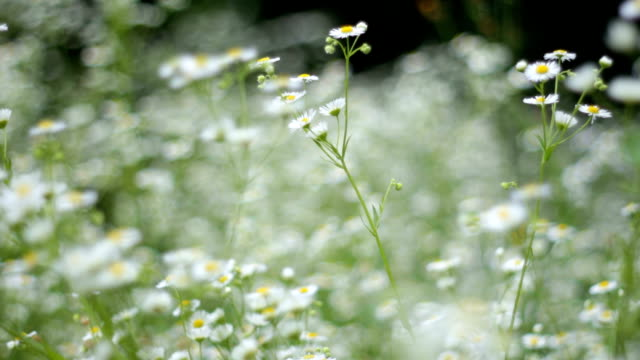 camomile field video