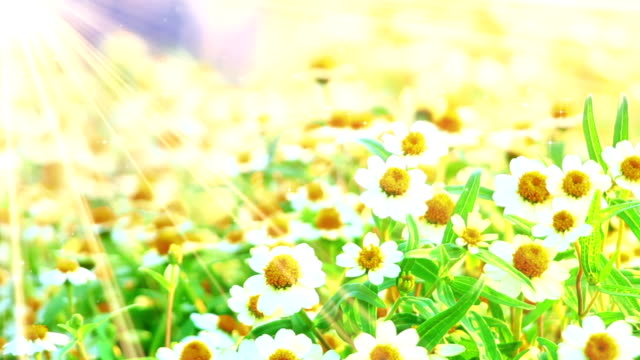 camomile flowers and sunlight seamless loop video
