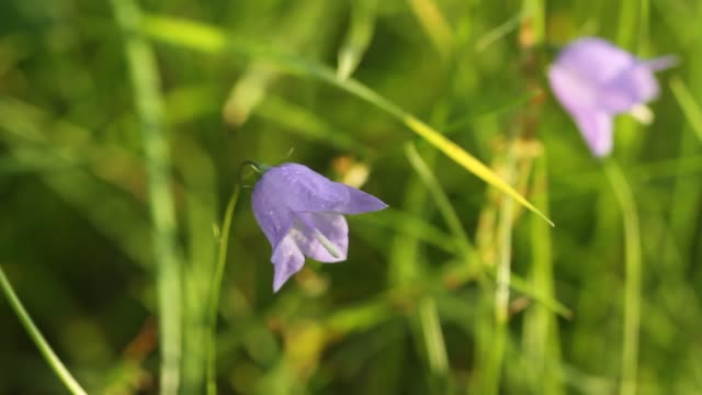 Campanula rotundifolia or bell flower sway in the wind