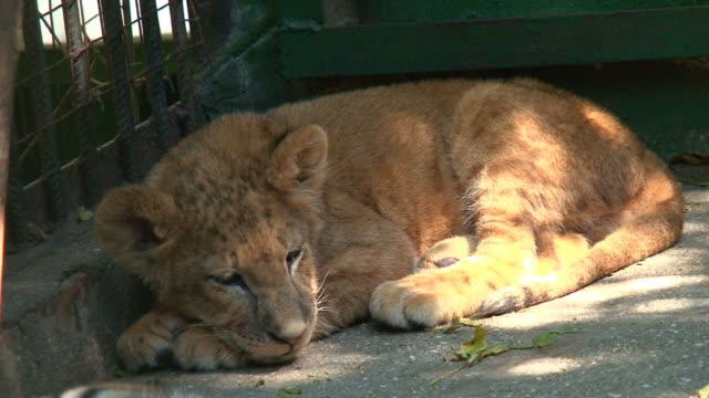 camper little lion video