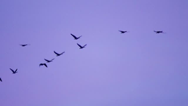 Canada geese flying in formation video
