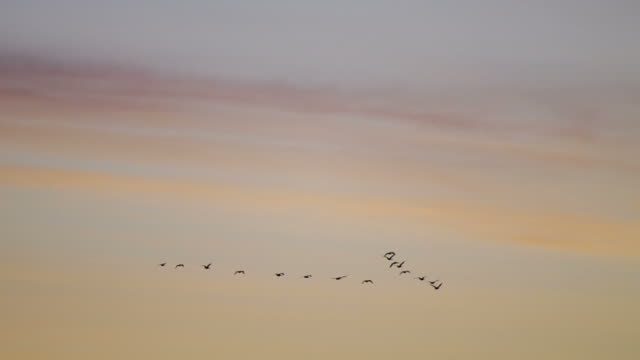 Canada geese in formation against sunrise sky video