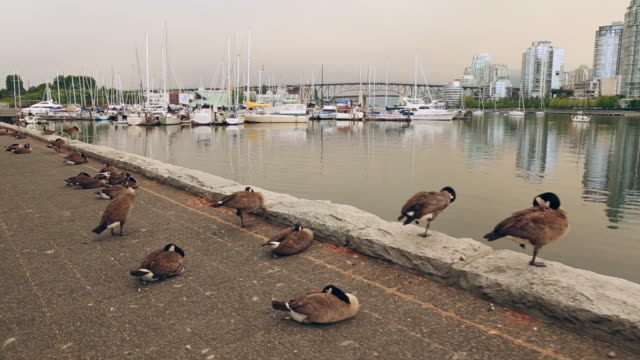 Canada Geese on Vancouver Seawall video