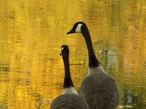 oche del canada  - uccello acquatico video stock e b–roll
