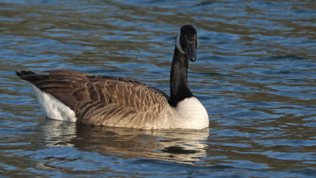 stockvideo's en b-roll-footage met de gans van canada, branta canadensis. vogels die op een meer zwemmen - video's van beauty