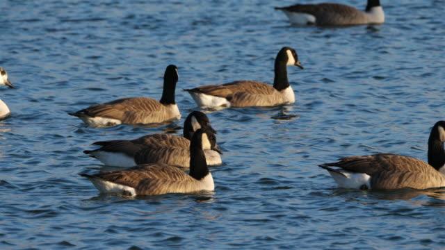 stockvideo's en b-roll-footage met de gans van canada, branta canadensis. troep van vogels die op een meer zwemmen - video's van beauty
