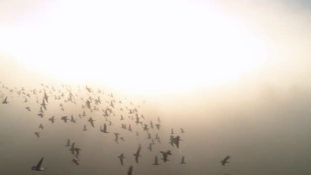Canadian Goose Pack Aerial Flying Slow Motion in Bright Fog Haze Nature Background