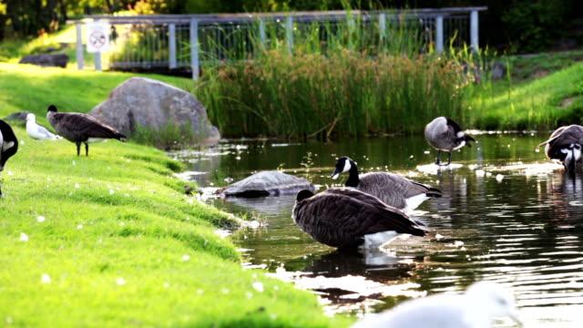 Canadian goose video