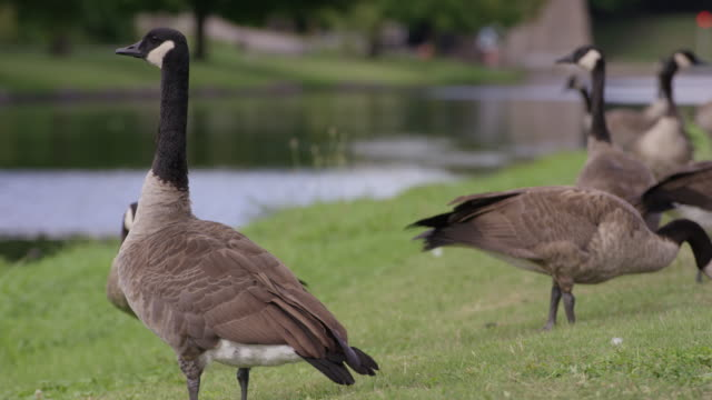 Canadian Goose video
