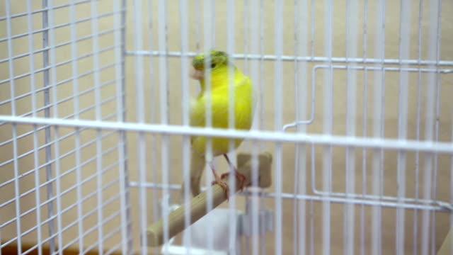 i̇çinde belgili tanımlık kafes kanarya kuş - kafes sınırlı alan stok videoları ve detay görüntü çekimi