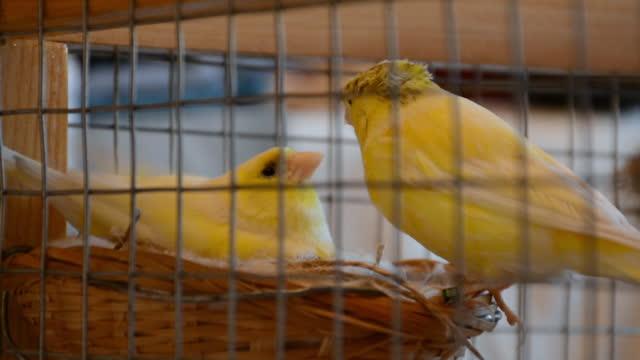 vídeos de stock e filmes b-roll de canary couple in cage and male bird feeding female in nest - animal doméstico